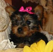 GORGEOUS MALE AND FEMALE TEACUP YORKIE PUPPIES FOR X-MAS ADOPTION!!
