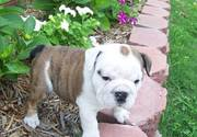 english bull dog puppy for loving home