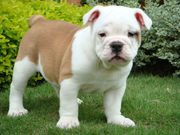 English Bulldog Pups.. Ready to go.