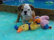 Lovely Akc English Bulldog Puppy For Adoption $150